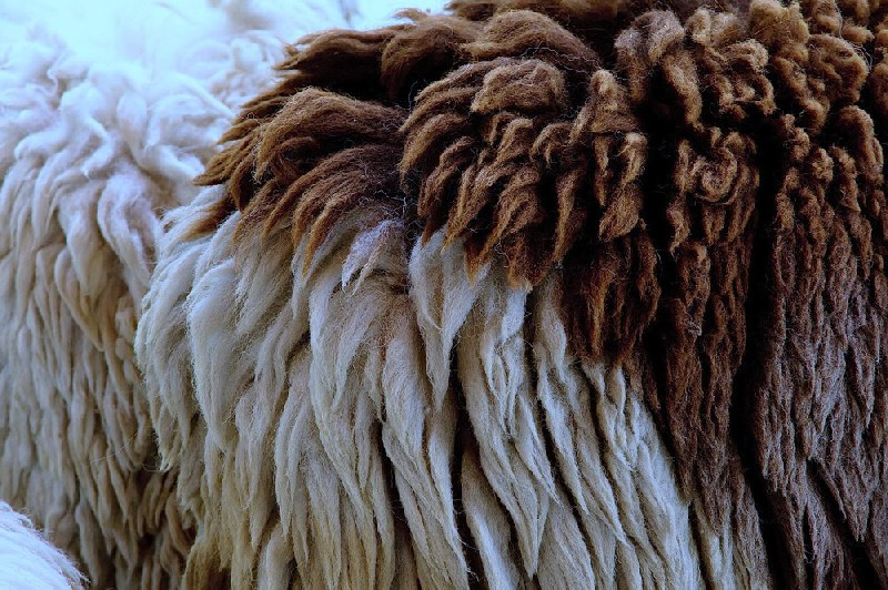 Peaux de moutons mérinos
